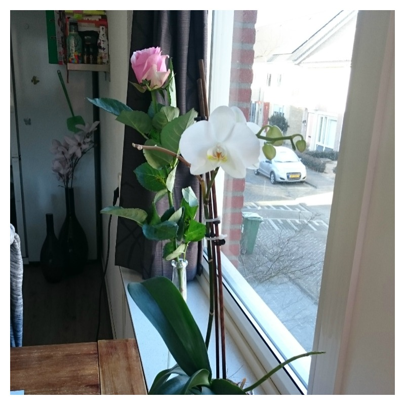 roos orchidee