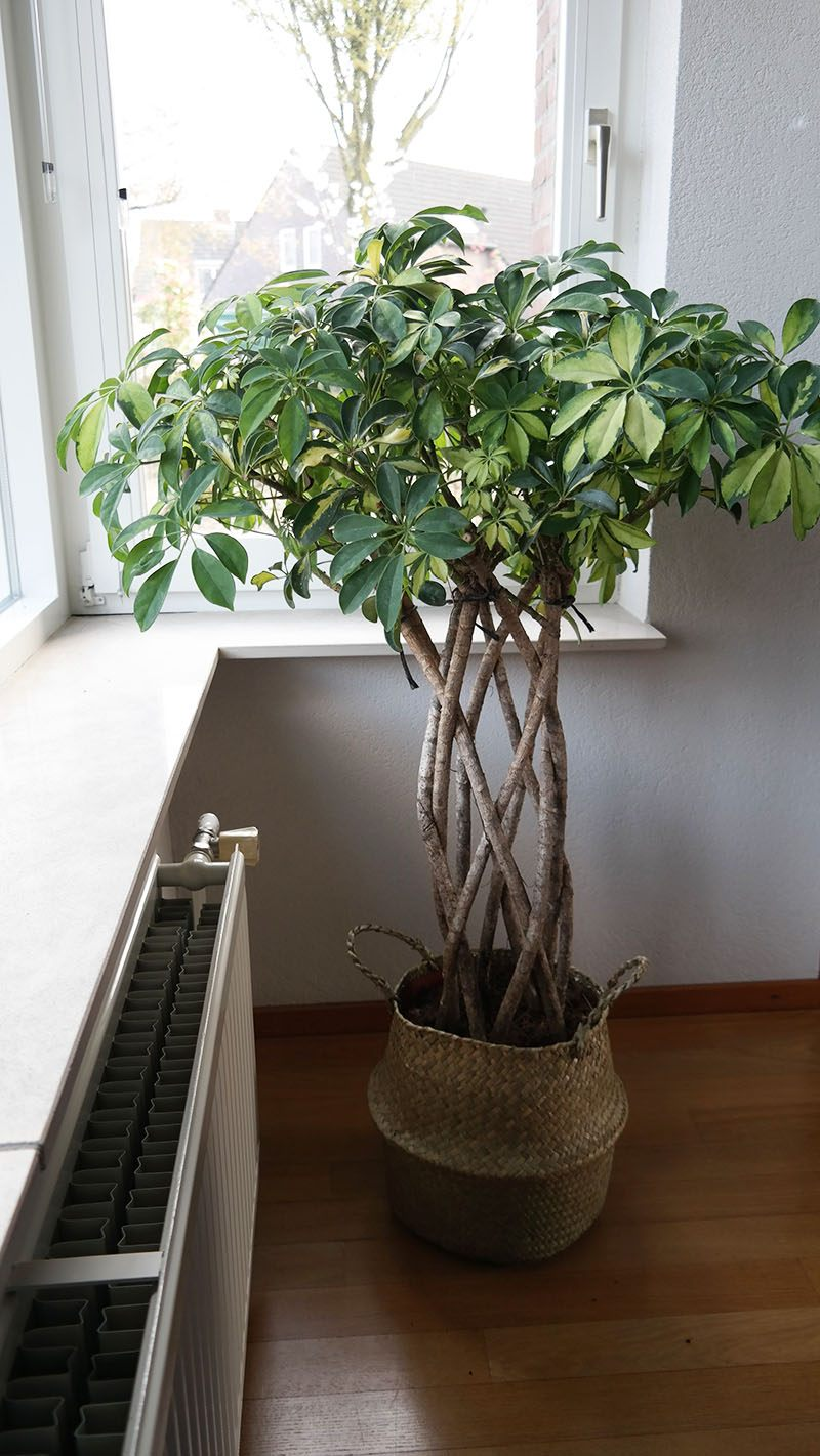 Schefflera Trinette vingersboom mijn nieuwe kamerplant mieksmind