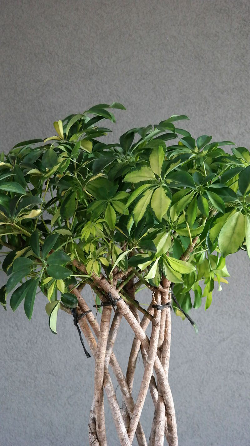 Schefflera Trinette vingersboom mijn nieuwe kamerplant