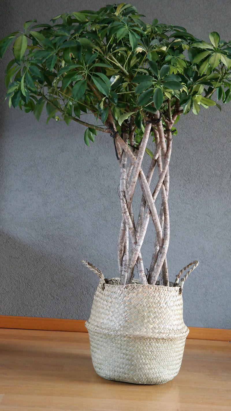 Schefflera Trinette vingersboom nieuwe kamerplant