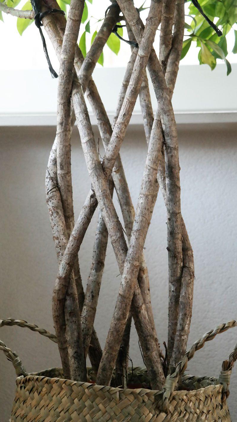 Schefflera Trinette vingersboom